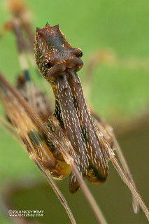 Assassin spider / Pelican spider (Eriauchenius sp.) - DSC_8710b