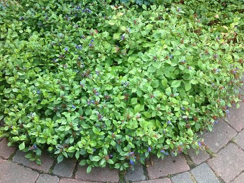 Taubenschwänzchen (Macroglossum stellatarum) (1)