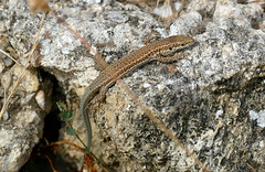 Catalan Wall Lizard (Podarcis liolepis)