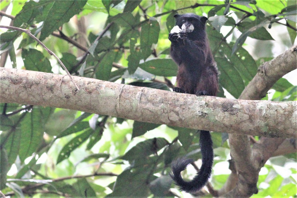 saddle-backed tamarin