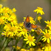 Small Copper butterfly on Ragwort by Knutsfordian