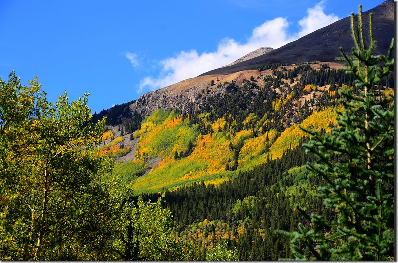 Aspen leaves have already turned golden yellow along the trail (3)