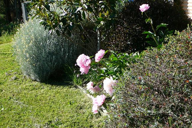 Pink peony garden on, Panasonic DMC-TZ1