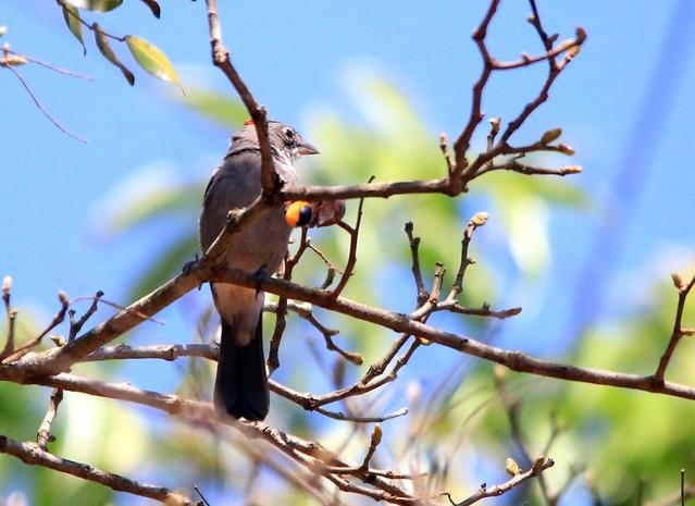 Tico tico rei cinza - Coryphospingus pileatus