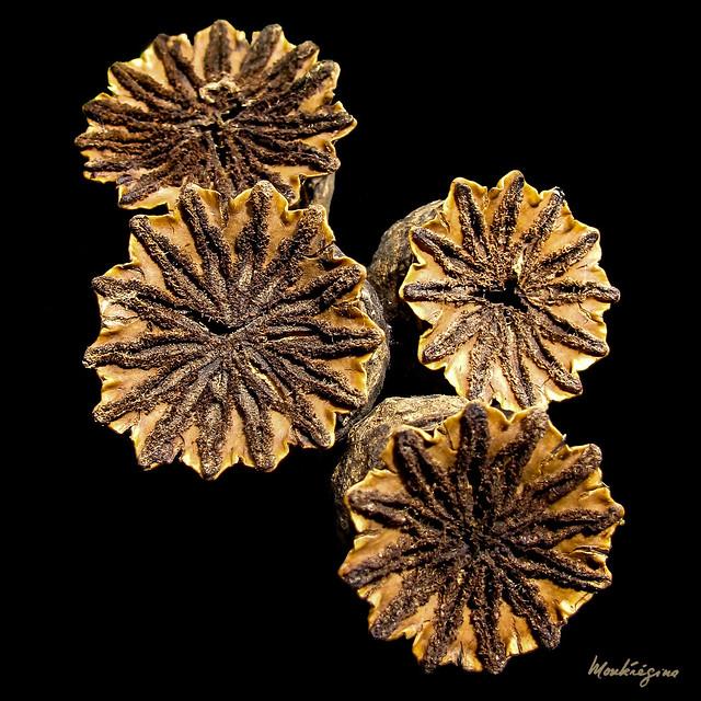 Poppy seed heads -  Têtes de coquelicot