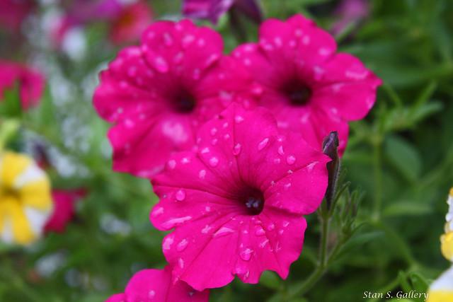 Petunias after the rain
