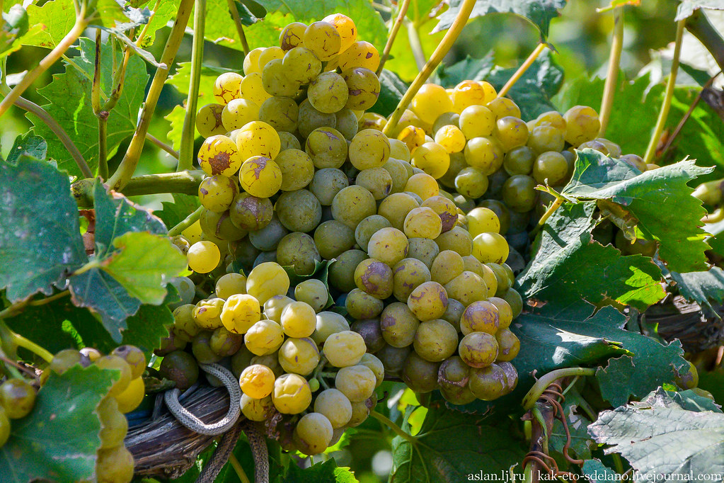 Как делают вино. Часть 1