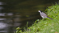 White wagtail looks over the lake