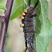 Vapourer Moth Caterpillar!