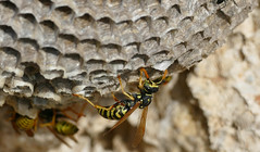 European Paper Wasps (Polistes dominula) on nest ...