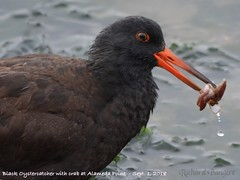 Black Oystercatcher with crab