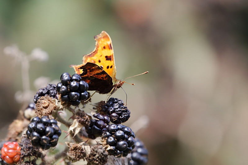 Comma butterfly on a over-ripe blackberry