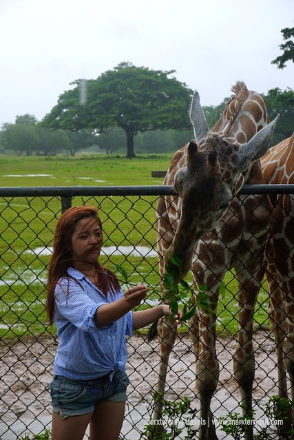 Feeding the Giraffe at Calauit Safari Park