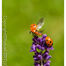 Ladybird ( 7 - spot  ) ready to fly away from a Lavender flower!