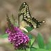 Giant Swallowtail by bobj03054