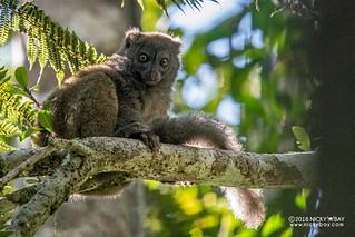 Eastern lesser bamboo lemur (Hapalemur griseus griseus) - DSC_1468