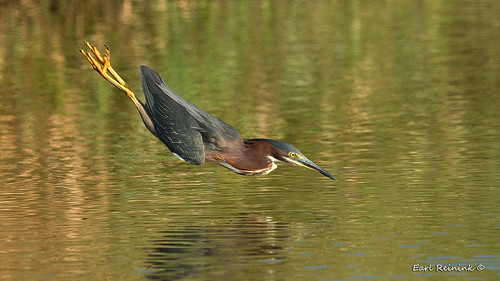 Heron does the swan dive..???