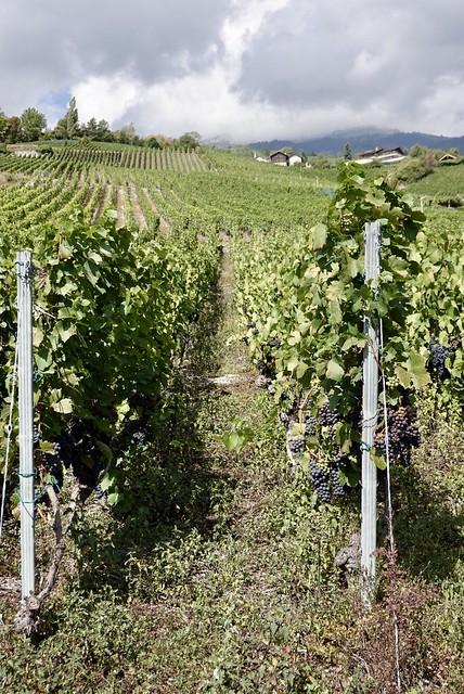 Lots of vines