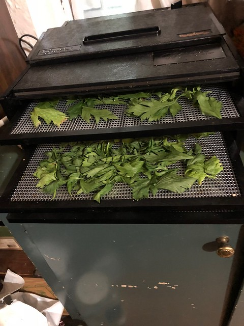Dehydrating celery leaves