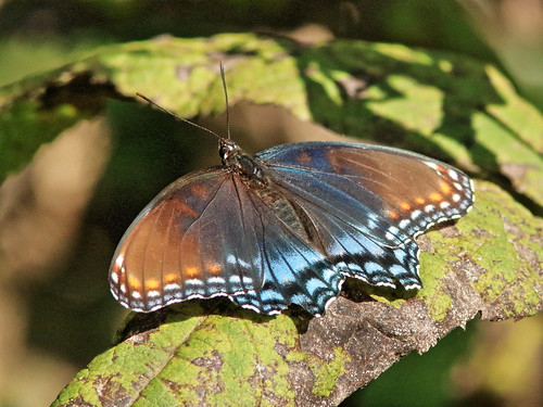 Red-spotted Purple butterfly 01-20180913