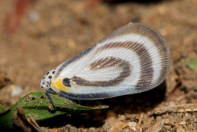 Bythopsyrna circulata - a tropical planthopper