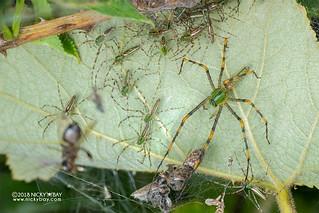 Green lynx spider (Peucetia madagascariensis) - DSC_7884