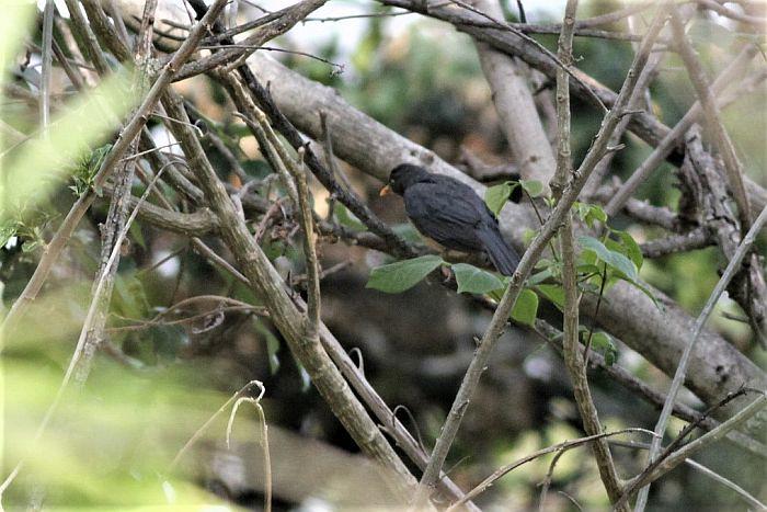 Andean Slaty-thrush