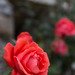 Castle Gloom Rose