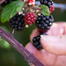 Blackberry foraging