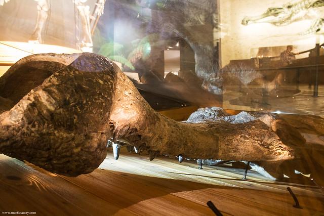 Sarcosuchus imperator, Museo di Storia Naturale