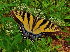 Eastern Tiger Swallowtail 2018