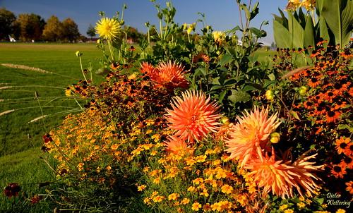 Dahlienblüte im LSG-Park (Explore 150)