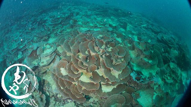 どこまでも続くキッカサンゴ