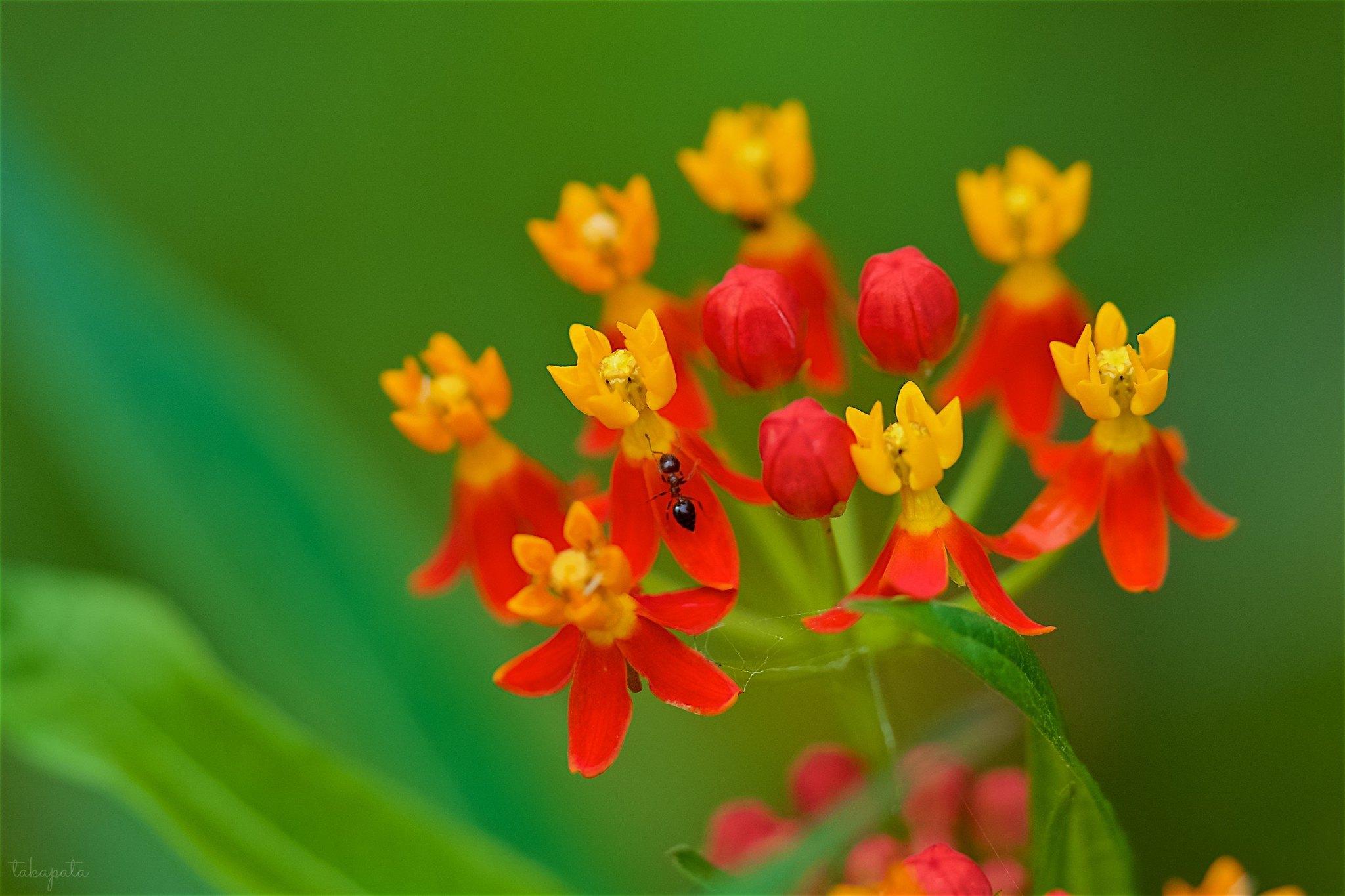 トウワタ Tropical milkweed