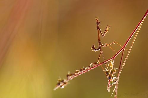 "Imp ""Conehead mantis"" in the morning light - Diablotin dans la lumière du matin"