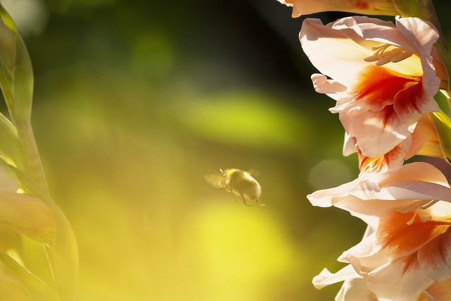 Bumblebee, Nikon D7100, AF Micro-Nikkor 200mm f/4D IF-ED