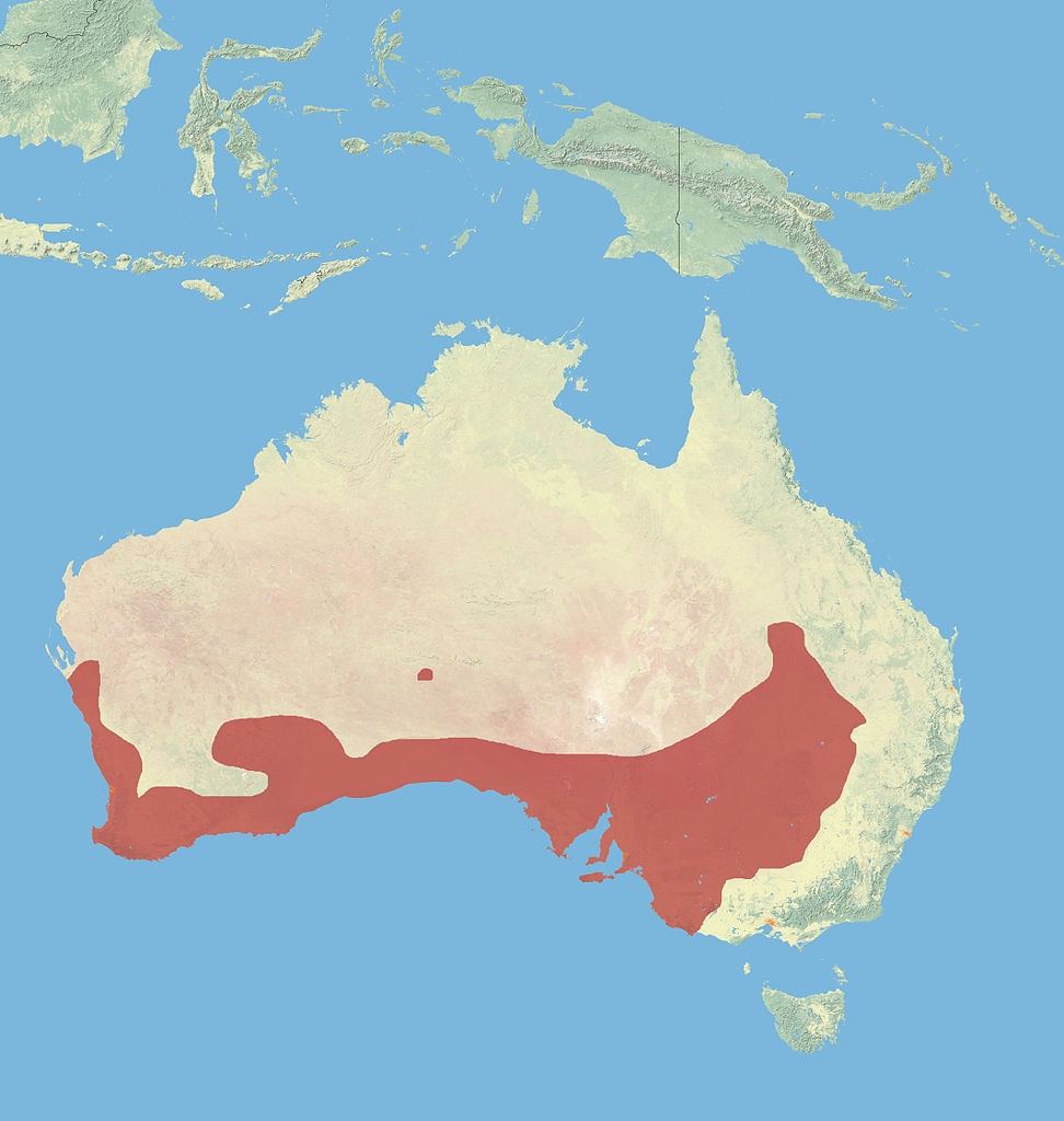Range of the western grey kangaroo (Macropus fuliginosus)