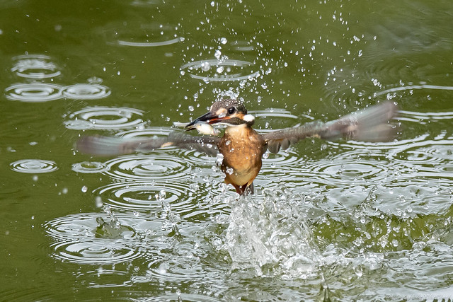 20180819-kingfisher-DSC_7891