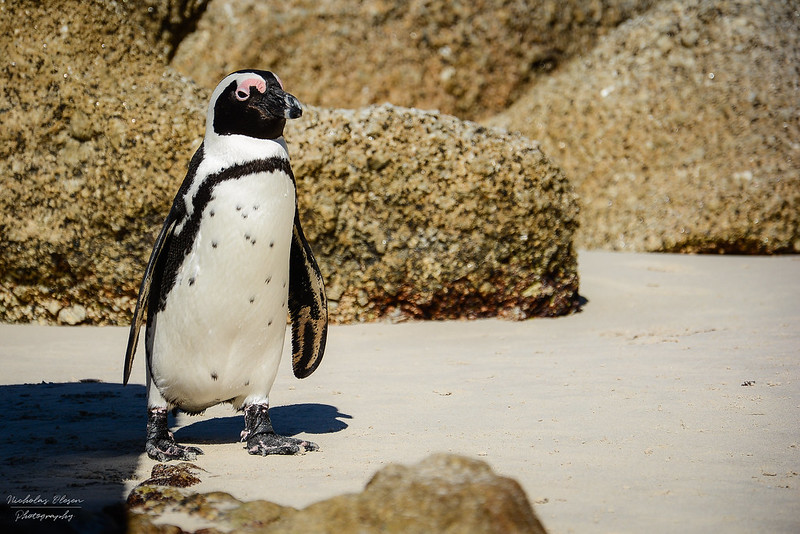 South Africa | Boulders Beach Penguin