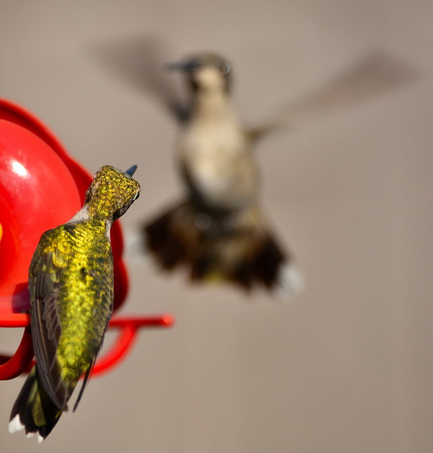 Hummingbird on the lookout