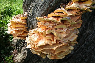 Chicken_of_the_Woods_2