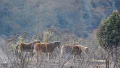 Ponies Grazing During Burning on New Forest (c) A R Wallington 2018