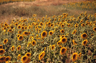 Sunflower field, Alentejo