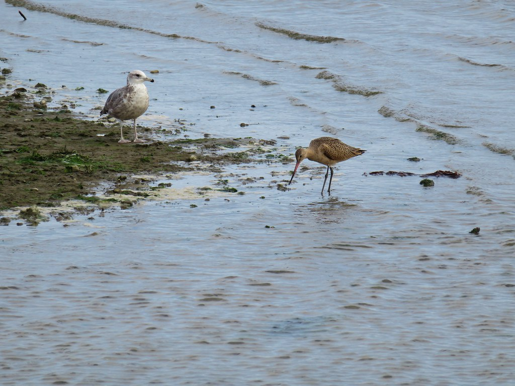 Seagull and a marbled godwit in the Coquile River