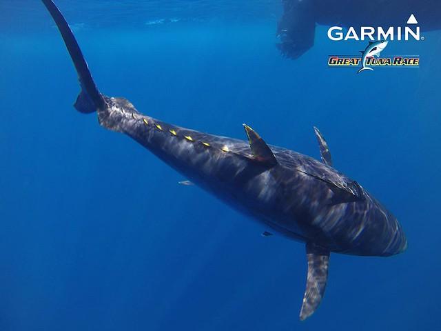 20180907-08 - C.N. Llançà - Marcatge de tonyines GGTR