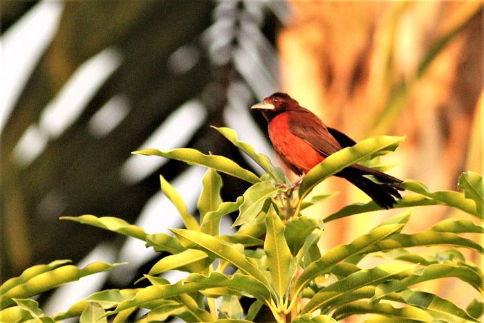 Black-bellied Tanager