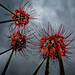 #258 Red Spider Lilies by tokyobogue