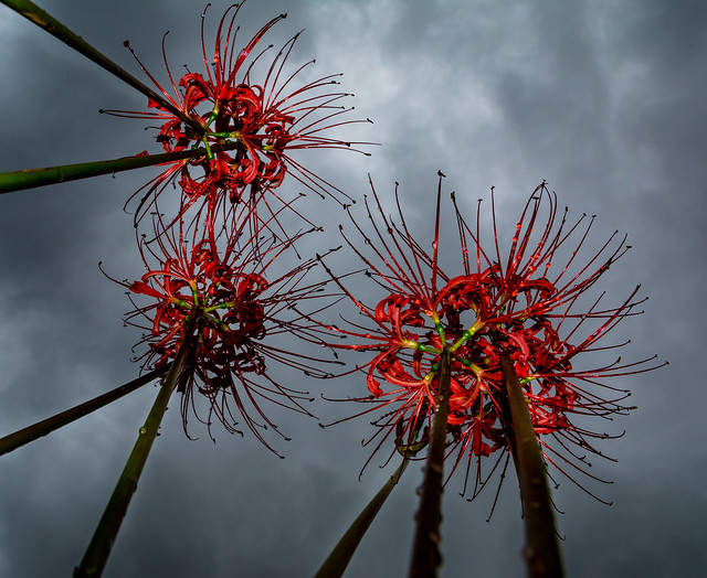 #258 Red Spider Lilies
