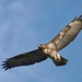 Buzzard... by Gary Neville