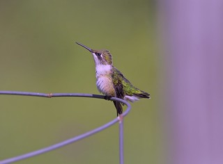 Vigilant young hummer on a tomato cage scans for interlopers